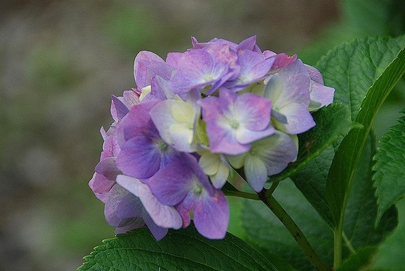 神社の紫陽花(夕方)_c0187781_19383799.jpg