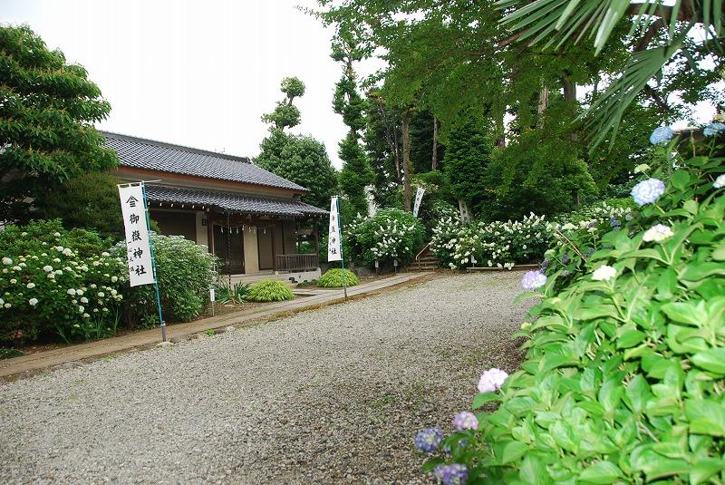 神社の紫陽花(夕方)_c0187781_1941217.jpg
