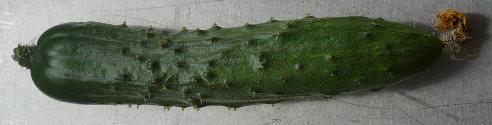 ミニキュウリ 第一号収穫しました。_f0193752_18133196.jpg