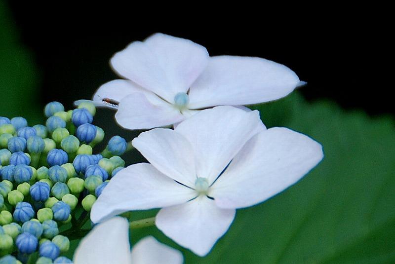 神社の紫陽花(夕方)_c0187781_2394845.jpg