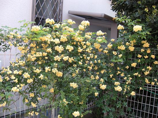 モッコウバラが咲きました。_c0128489_221017.jpg