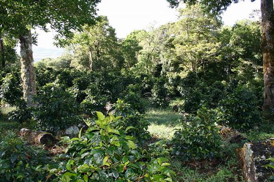 コーヒーの木陰栽培(シェードグロウン)