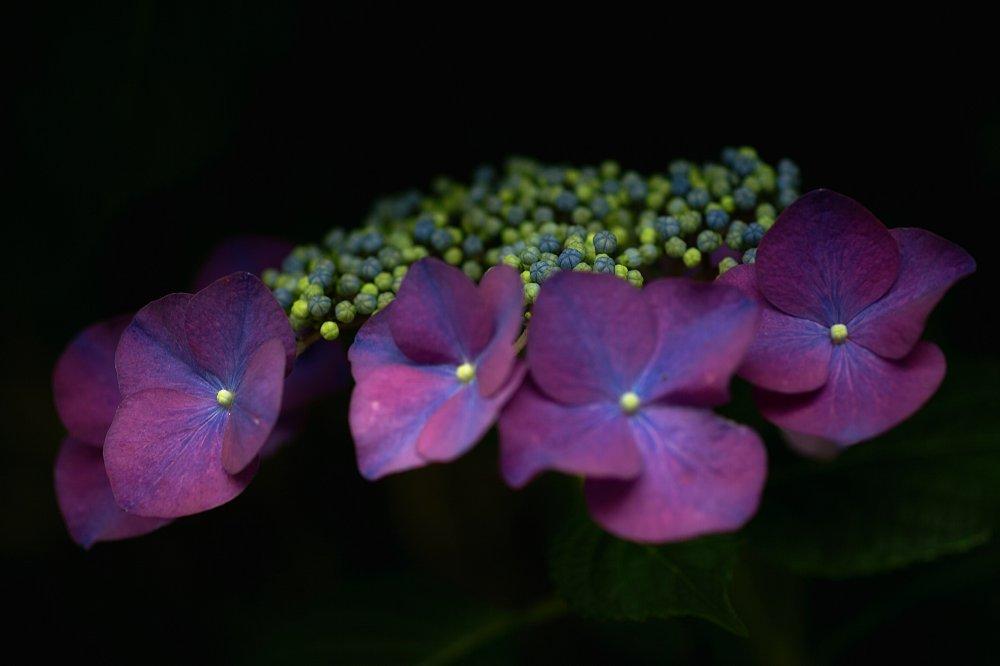 紫陽花とお散歩・・・・その2_c0124795_21573168.jpg