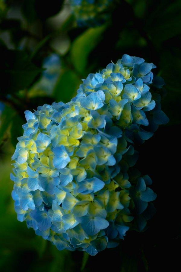 紫陽花とお散歩・・・・その2_c0124795_21575293.jpg