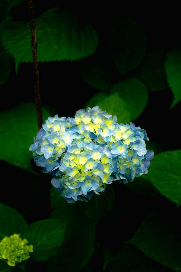 紫陽花とお散歩・・・・その2_c0124795_21585174.jpg