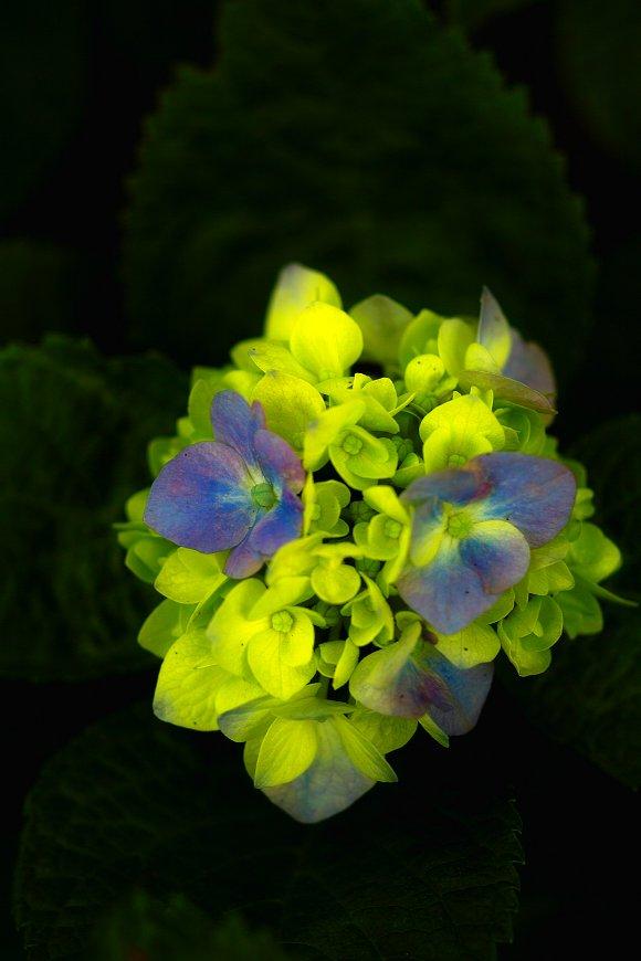 紫陽花とお散歩・・・・その2_c0124795_222467.jpg
