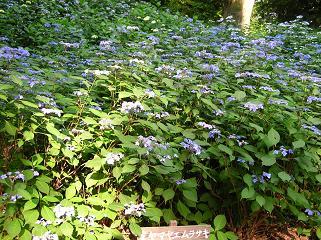 紫陽花の季節_f0139963_613925.jpg