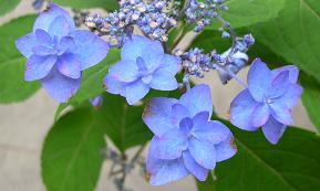紫陽花の季節_f0139963_618027.jpg