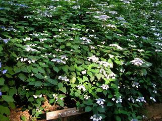 紫陽花の季節_f0139963_6194272.jpg
