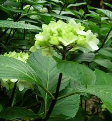 紫陽花の季節_f0139963_6281879.jpg