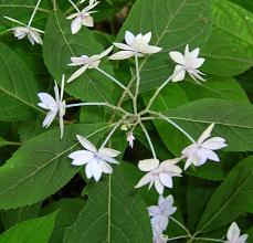 紫陽花の季節_f0139963_6303819.jpg