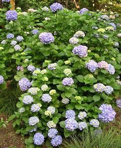 紫陽花の季節_f0139963_634243.jpg
