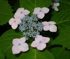 紫陽花の季節_f0139963_6453111.jpg