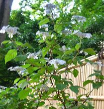 紫陽花の季節_f0139963_646429.jpg
