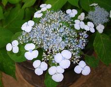 紫陽花の季節_f0139963_650426.jpg