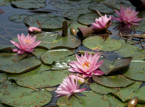 極楽寺山 蛇の池の睡蓮_f0099102_23145845.jpg