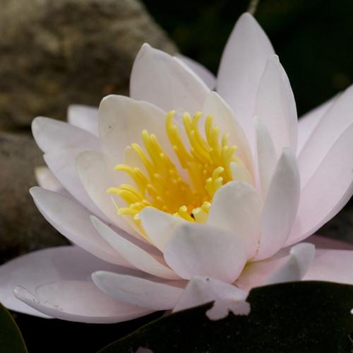 極楽寺山 蛇の池の睡蓮_f0099102_23152735.jpg