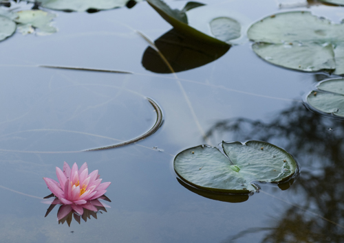 極楽寺山 蛇の池の睡蓮_f0099102_23153859.jpg