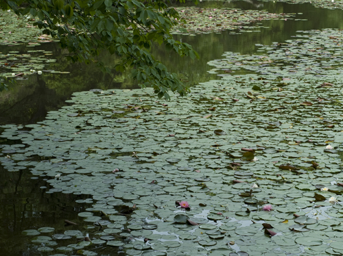 極楽寺山 蛇の池の睡蓮_f0099102_2316597.jpg