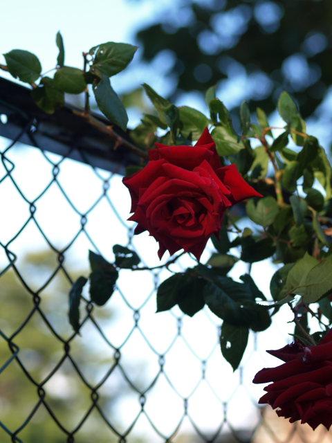 薔薇のある公園~閉じられた世界~_e0169421_14263496.jpg