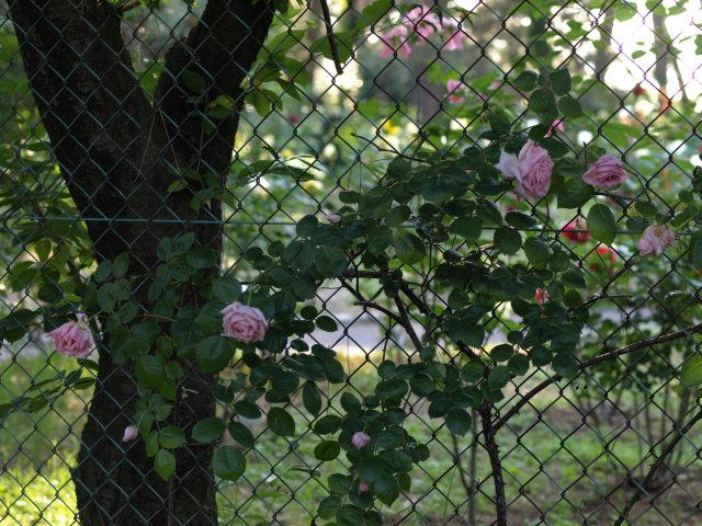 薔薇のある公園~閉じられた世界~_e0169421_14265196.jpg
