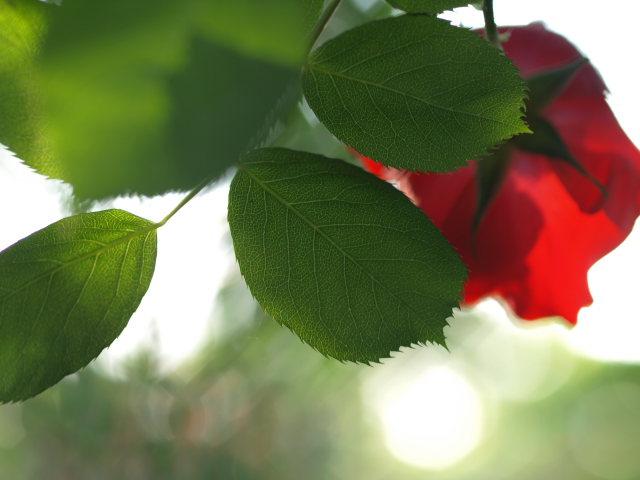 薔薇のある公園~閉じられた世界~_e0169421_14275996.jpg