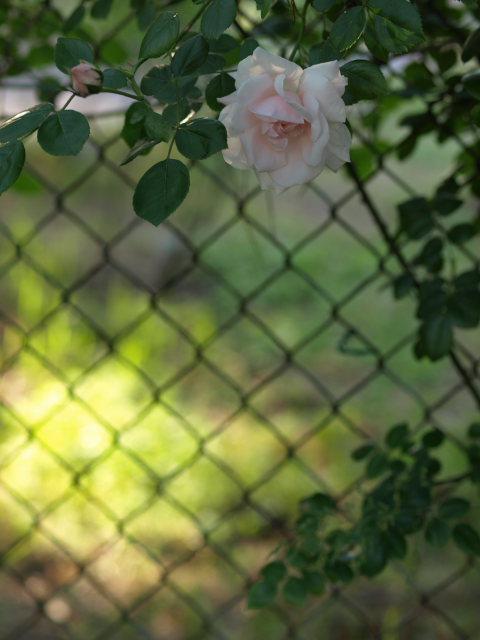 薔薇のある公園~閉じられた世界~_e0169421_14282812.jpg