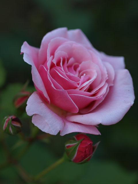 薔薇のある公園~閉じられた世界~_e0169421_14292351.jpg
