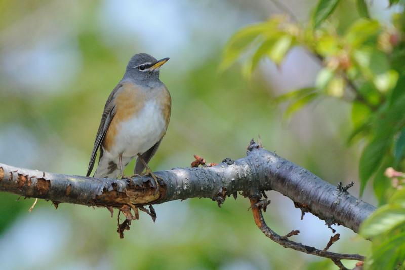 舳倉島の鳥たち(最終回)_d0099854_19373941.jpg