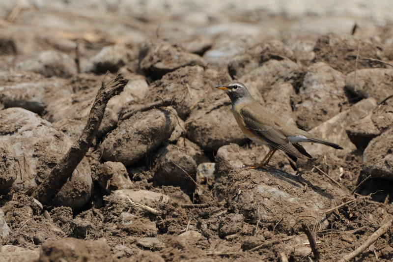 舳倉島の鳥たち(最終回)_d0099854_193901.jpg
