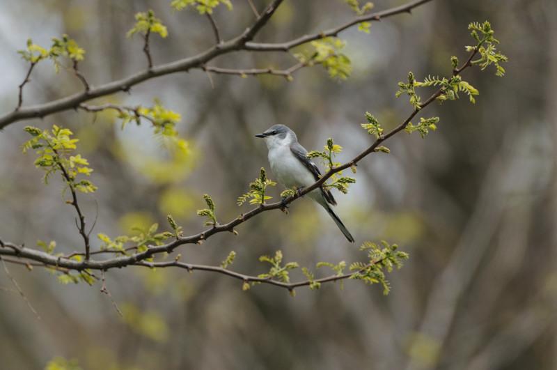 舳倉島の鳥たち(最終回)_d0099854_19401775.jpg
