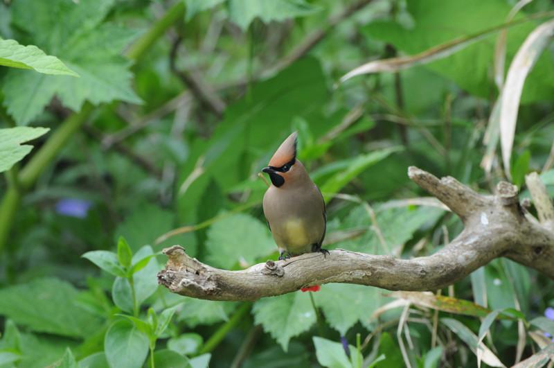 舳倉島の鳥たち(最終回)_d0099854_19414079.jpg