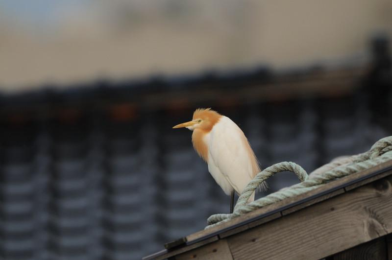 舳倉島の鳥たち(最終回)_d0099854_1947578.jpg