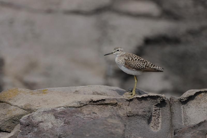 舳倉島の鳥たち(最終回)_d0099854_19501699.jpg