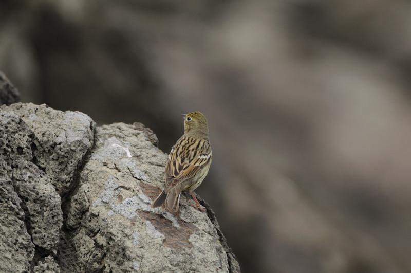 舳倉島の鳥たち(最終回)_d0099854_1951137.jpg