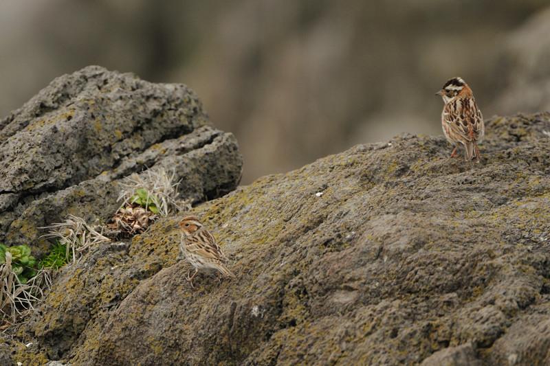 舳倉島の鳥たち(最終回)_d0099854_19525036.jpg