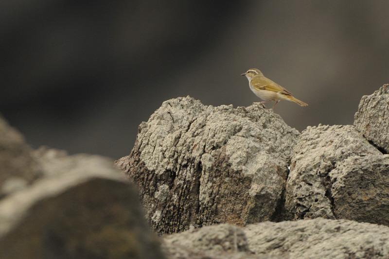 舳倉島の鳥たち(最終回)_d0099854_19534889.jpg