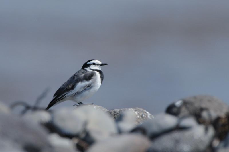 舳倉島の鳥たち(最終回)_d0099854_19561793.jpg