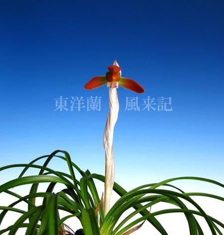 日本春蘭「あかとんぼ」                 No.620_d0103457_015297.jpg