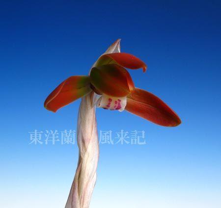日本春蘭「あかとんぼ」                 No.620_d0103457_0152977.jpg
