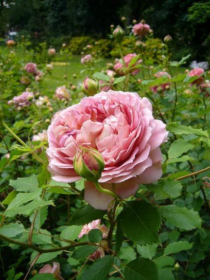 ロンドンの薔薇_e0078359_21111177.jpg