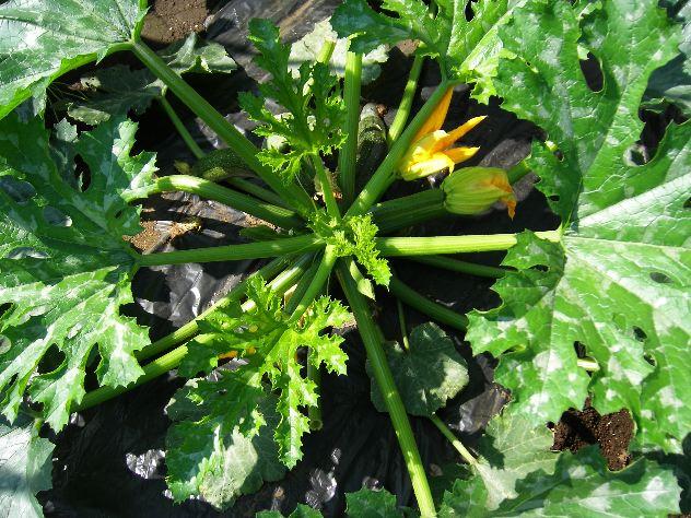ズッキーニを収穫しました_c0053863_112738.jpg