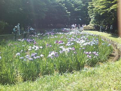 明治神宮外苑の花菖蒲_c0177863_1822567.jpg
