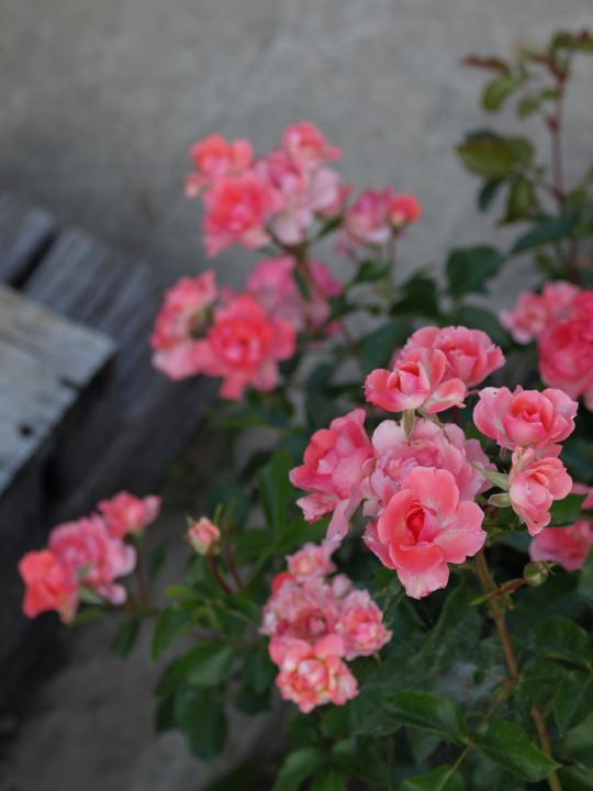 お杉ばら園2_e0169421_17363112.jpg