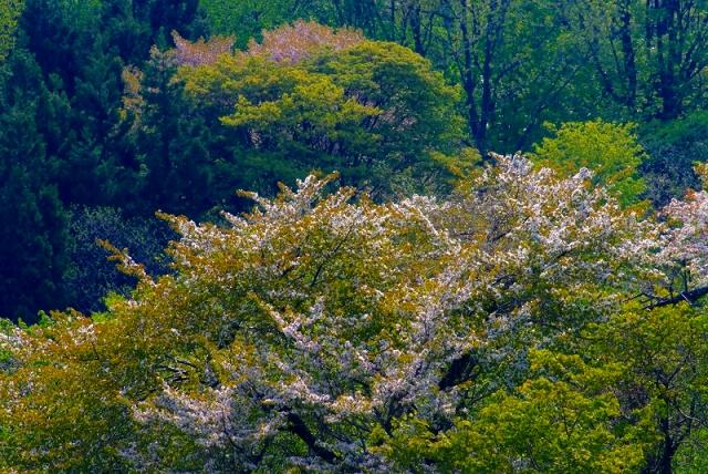 鳥海山麓2 新緑と山桜_f0050534_538637.jpg