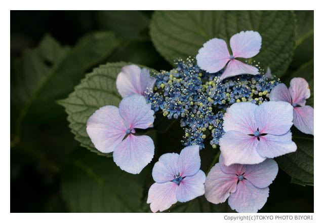 紫陽花の季節_f0181689_15454851.jpg