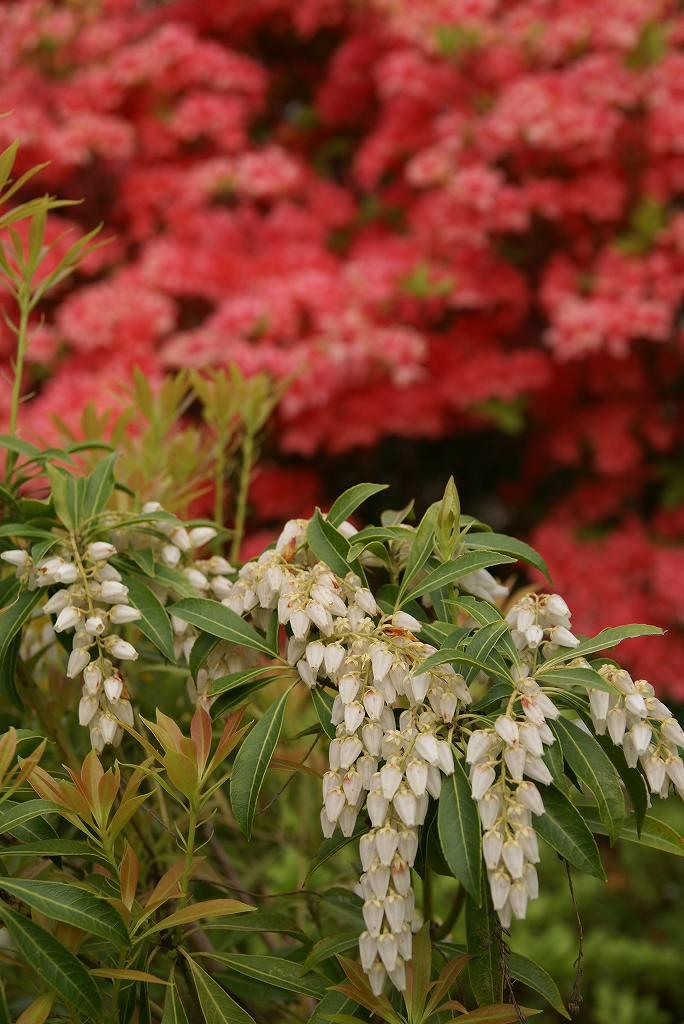 庭のツツジ_f0138096_812292.jpg