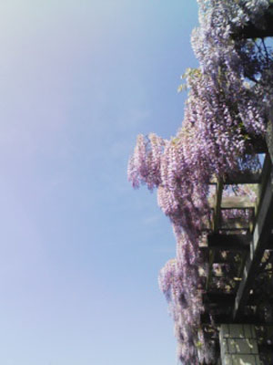 藤の咲く頃_f0032814_15573343.jpg