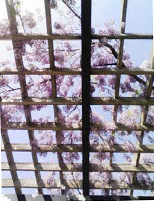 藤の咲く頃_f0032814_1694613.jpg