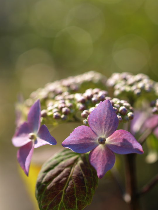 紫陽花の季節_e0169421_221556.jpg